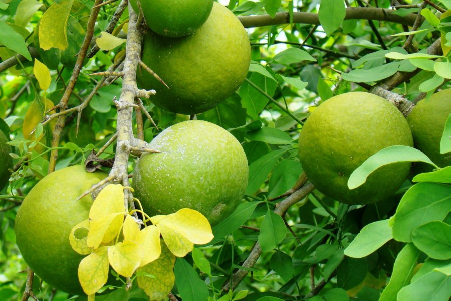 16 Amazing benefits of Bael Juice for skin, hair and health